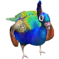 Peacock_cls