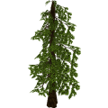Conifertree_cls