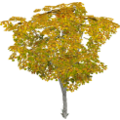 Birchtree_cls