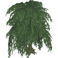 Willowtree_cls